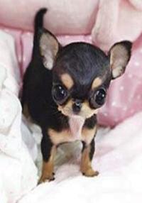 Paris Hiltons vilde hundekøb! Paris Hilton, hundehvalp